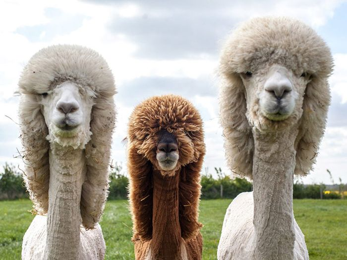 Alpacas With Incredible Hair (18 pics)