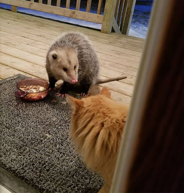 Possum Stealing Cat's Food (7 pics)