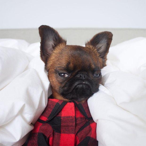 Grumpy Dog Gizmo (12 pics)