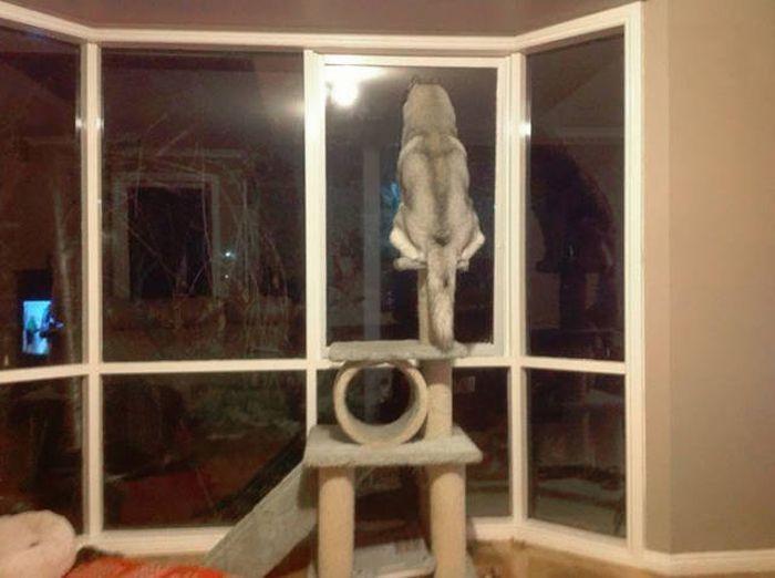 Funny Huskies (39 pics)