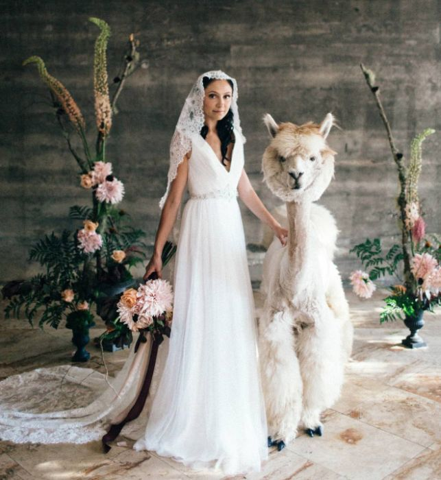 You Can Rent Llamas For Your Wedding (19 pics)