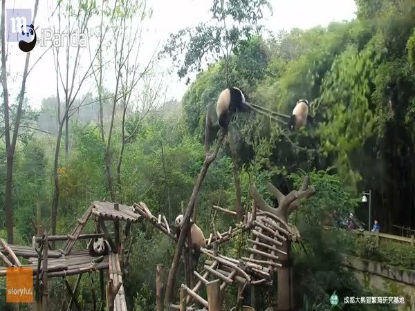 Chengdu Panda Falls Out Of Tree In Sichuan, China