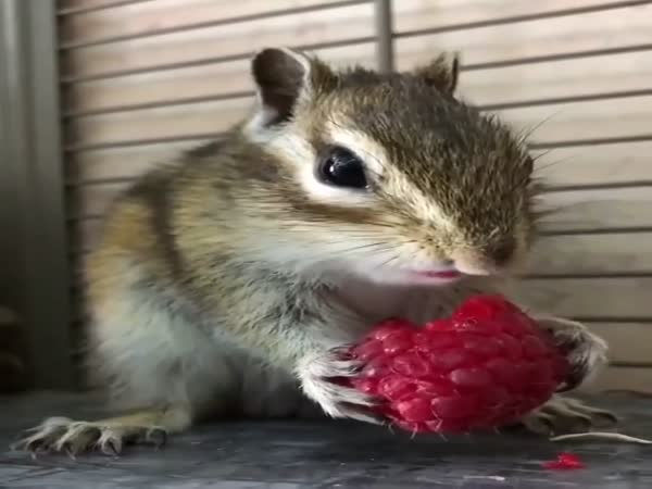 Chipmunk Eats a Raspberry