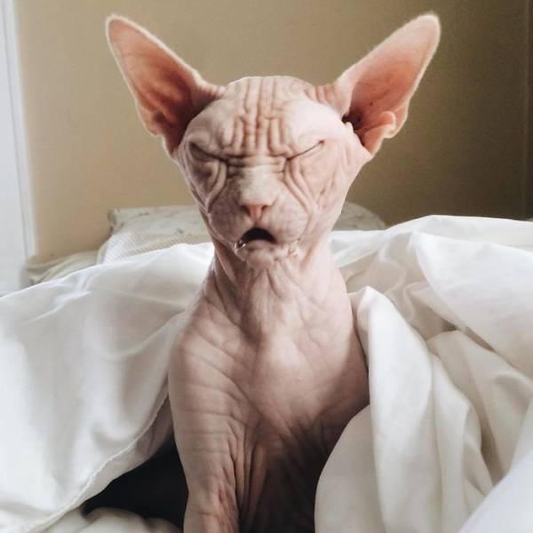 Loki TheGrumpy Sphynx Cat (25 pics)