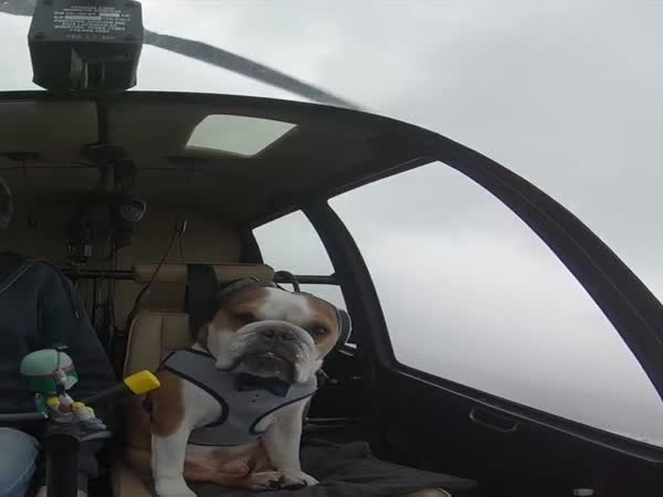Bulldog Loves Helicopter Rides