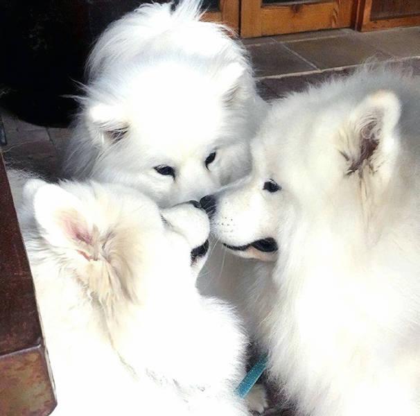 Cute Samoyeds (42 pics)
