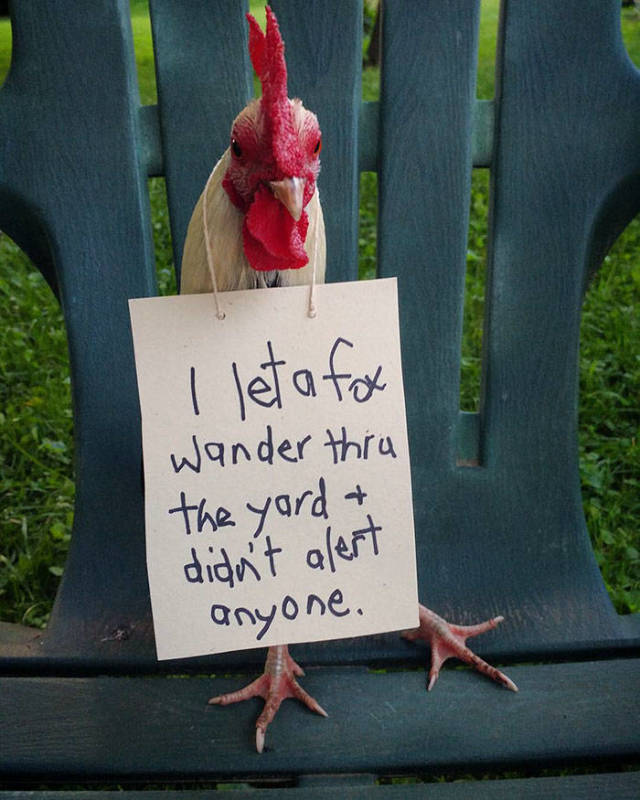 Chicken Shaming (47 pics)