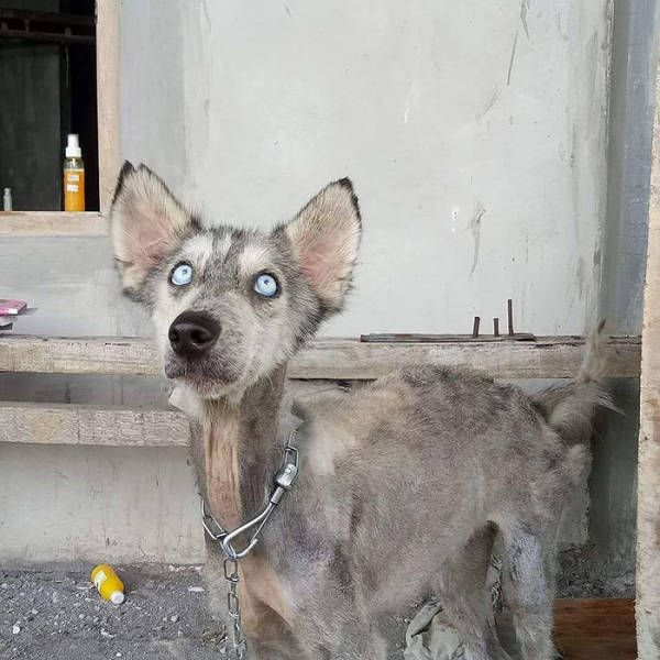 A Saved Husky Looks Like Before & After She Was Saved From The Streets (11 pics)