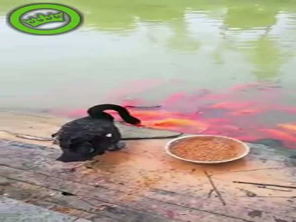 Swan Feeding Fish