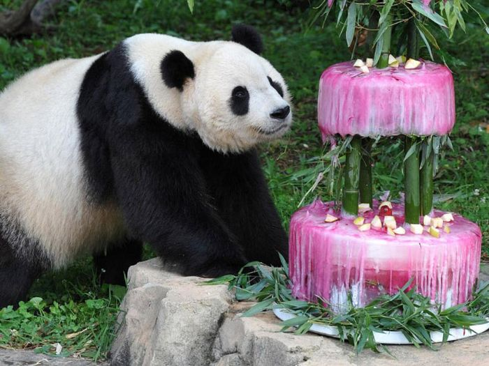 Pandas Celebrating Birthdays (21 pics)
