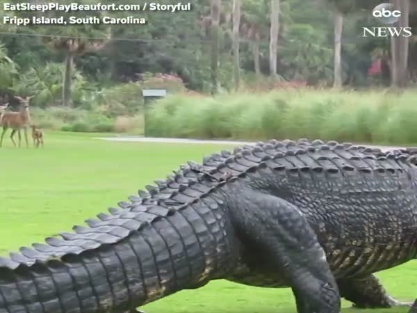 Alligator Walking Around a Golf Course in South Carolina