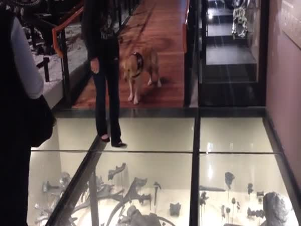 Glass Floor Is Dangerous For A Service Dog