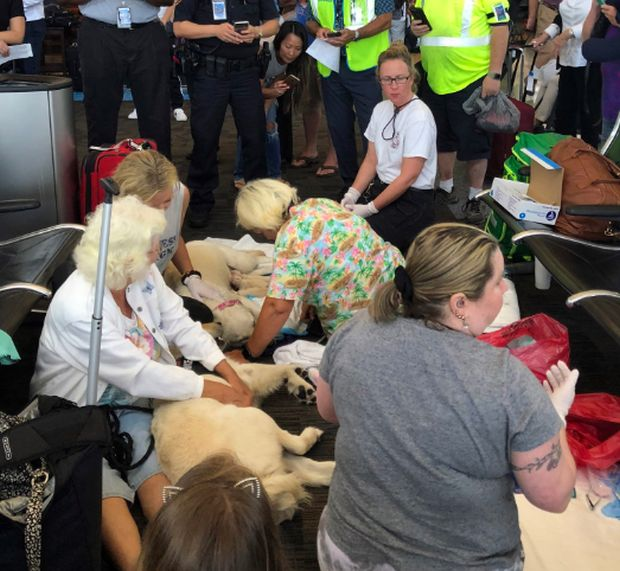 The Guide Dog Of One Of The Passengers Gave Birth To 8 Puppies Right At The Airport (4 pics)