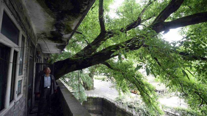 Residential house with 400-year-old tree growing inside (6 pics)