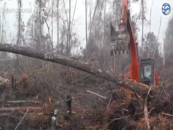 Orangutan Tries to Fight Off Bulldozer Destroying His Home