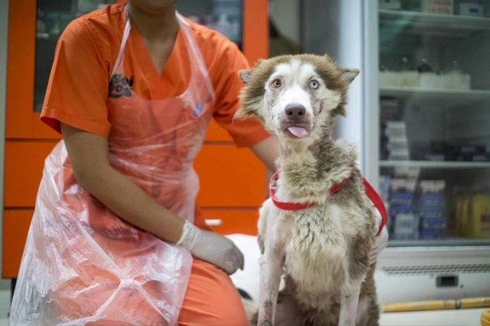 Husky  Rescued From The Streets Of Phuket (7 pics)