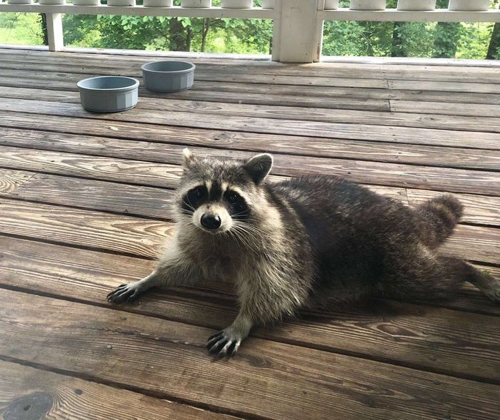 When You Feed A Pregnant Raccoon It Will Happen Next (4 pics)