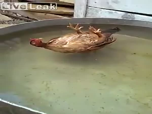 A Chicken Sleeping on Its Back In The Water