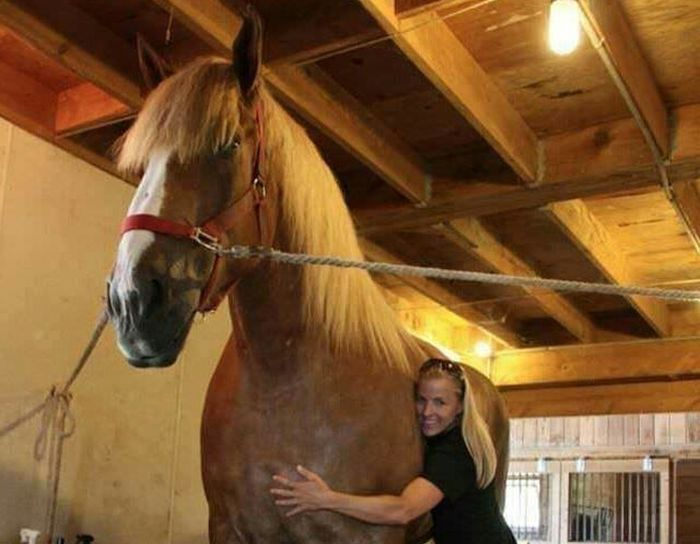 Big Jake Is The Highest Horse In The World (6 pics)