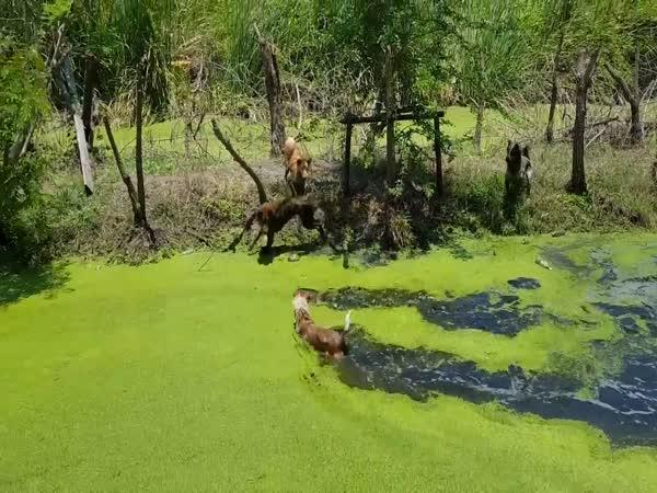 Massive Monitor Lizard vs Four Dogs