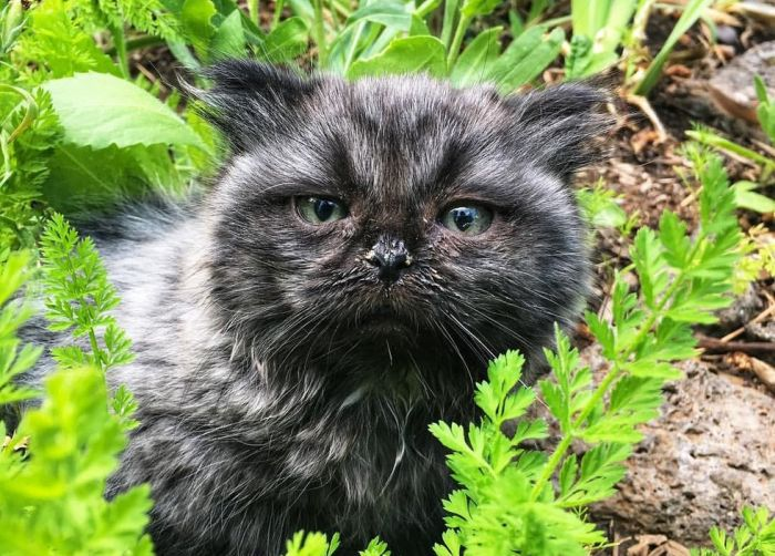 Dwarf Kitten Found Living Under A Shed, Discovers Cuddles For The First Time (6 pics)