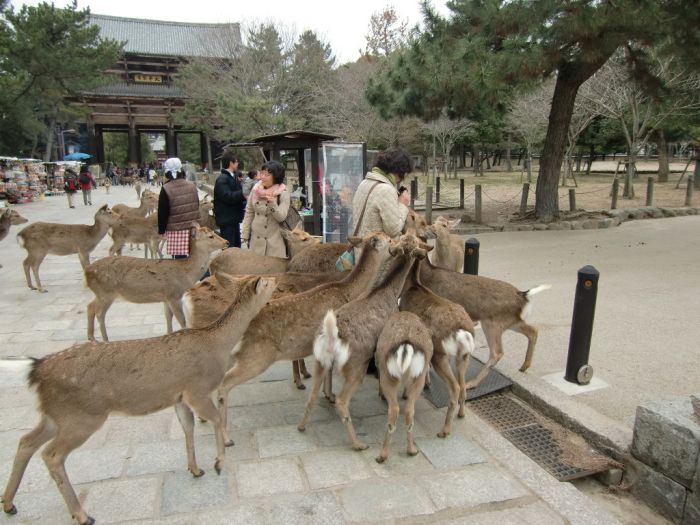 Nara Is a Japanese Deer-City (14 pics)