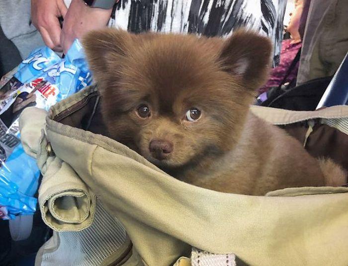 This Abandoned Pomeranian Dog Looks Like A Baby Bear (20 pics)