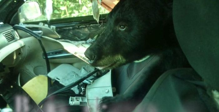 Black Bear Destroys A Car (5 pics)