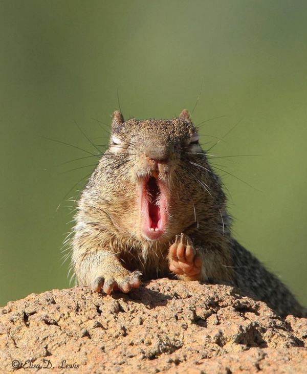 Yawning Animals (19 pics)