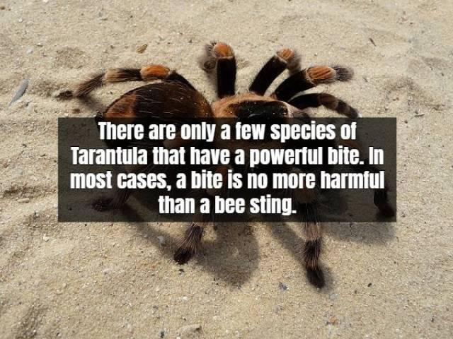 Facts About Tarantula (17 pics)