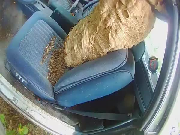 Ohio's 'Bee Man' Removes Massive Hornets Nest From Car
