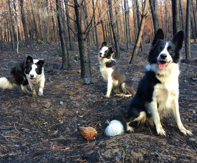 Dogs Save Forests From the Effects Of Devastating Fires (5 pics)