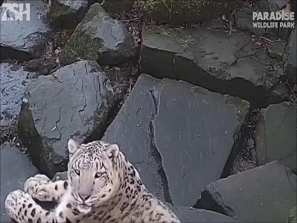 Snow Leopard Gets Spooked By The New Camera In Her Enclosure