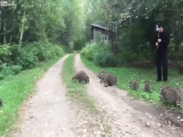 The Pied Piper Of Raccoons