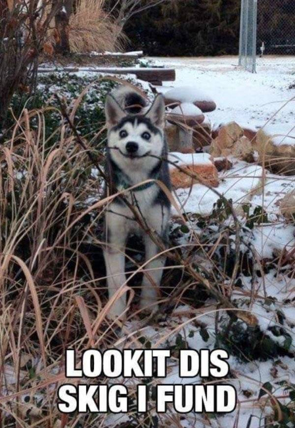 Huskies Are Cute And Derpy At The Same Time (36 pics)