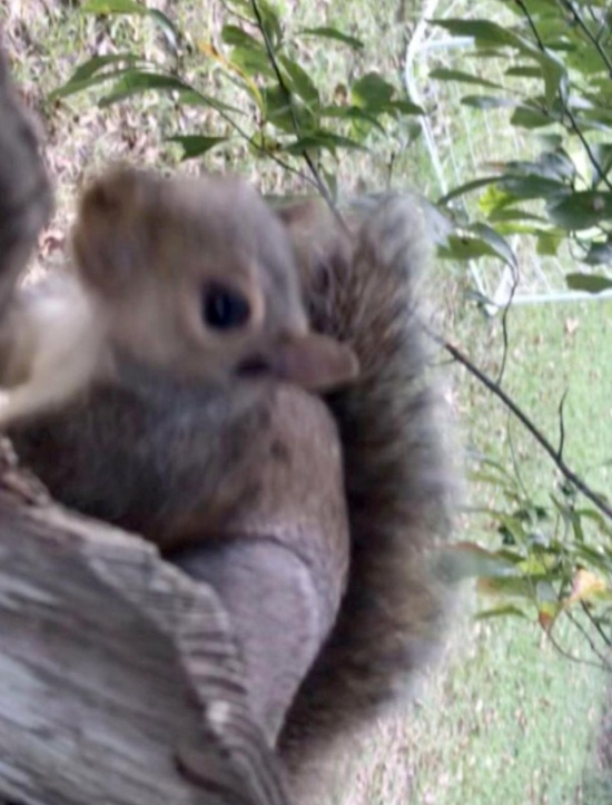 Squirrel Is Found Stuck In A Fence By His Testicles. He Was Rescued (3 pics)
