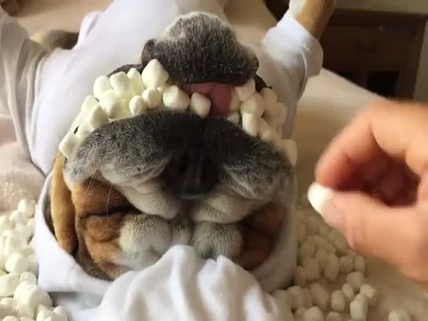 Dog Getting Marshmallows Stuffed In Its Mouth Will Make Your Day Better