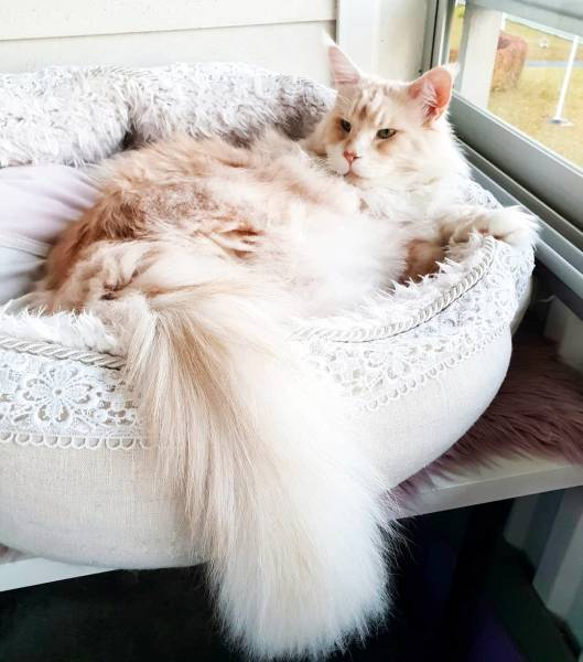 Maine Coon (22 pics)