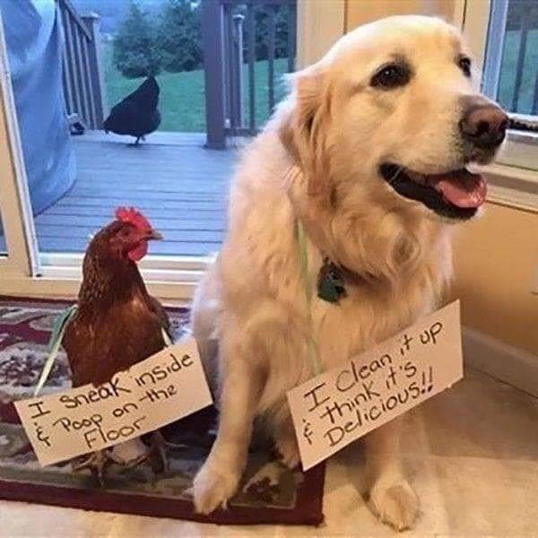 Chickenshaming (25 pics)