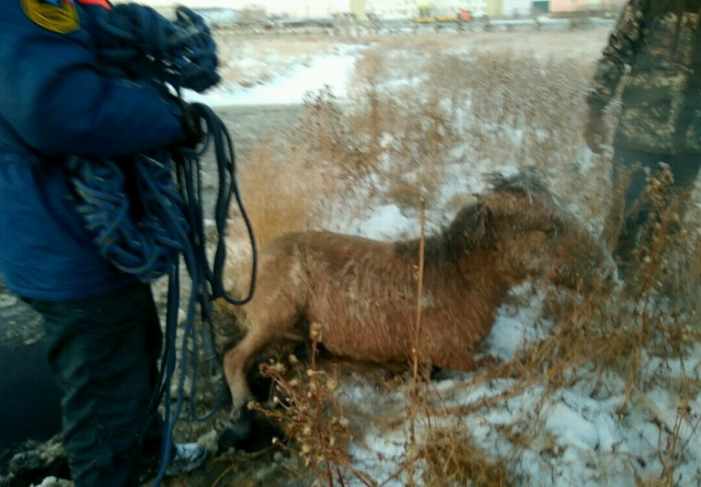 Rescuing Horses From Ice In Yakutsk, Russia (6 pics)