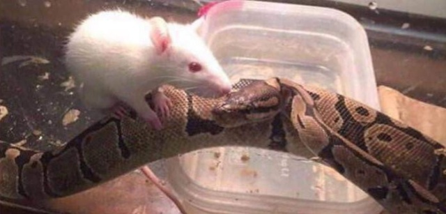Snake And Mouse Became Friends (3 pics)