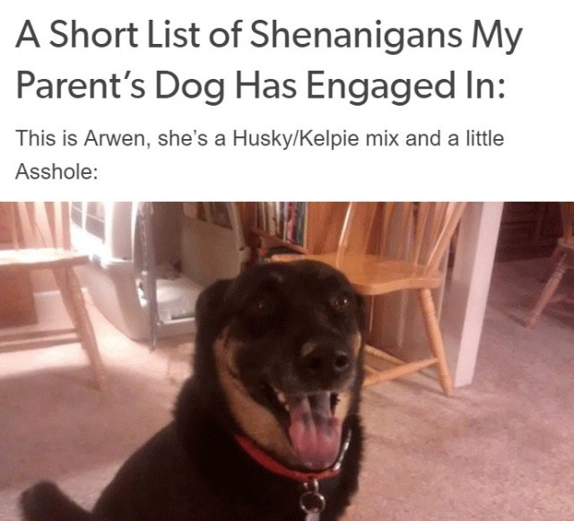 Person Gets A Service Dog Trained In Prison, Discovers How Naughty She Is (15 pics)