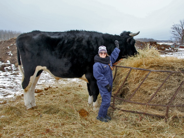A Big Black Cow Named Dozer (3 pics)