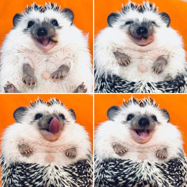 Happy Hedgehog (35 pics)