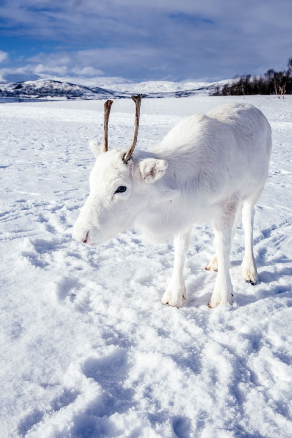 White Reindeer In Norway (5 pics)