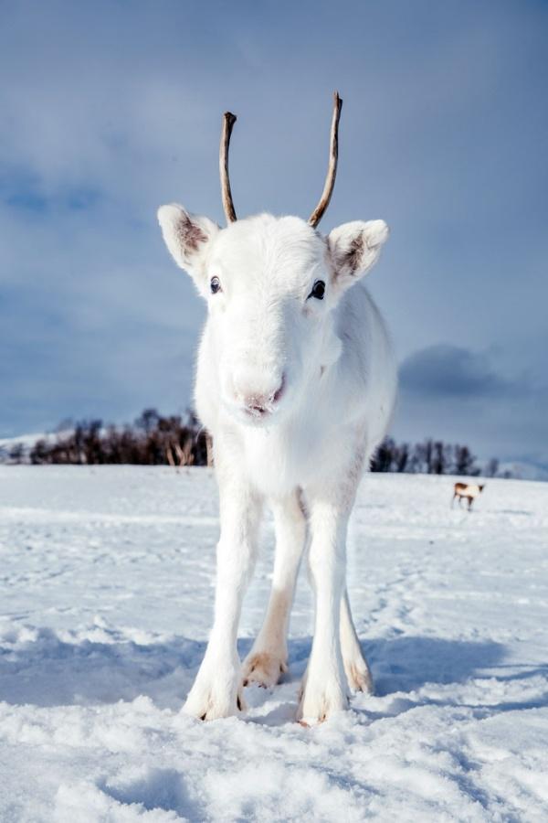 White Reindeer In Norway (5 pics)