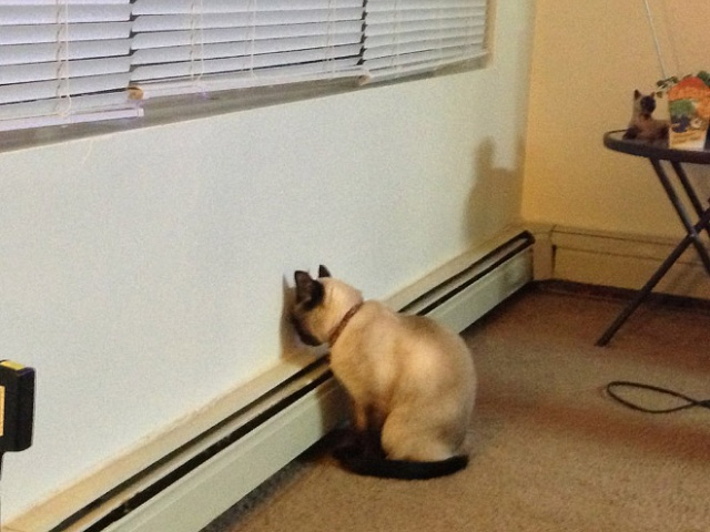 Cats Who Can't Figure Out Walls (20 pics)