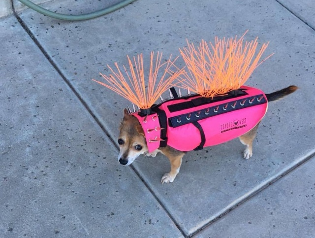 In The US, Small Dogs Have To Wear Spiked Vests So That Coyotes Do Not Grab Them (5 pics)