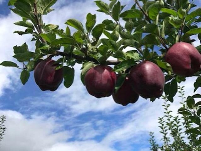 Black Diamond Apples (5 pics)