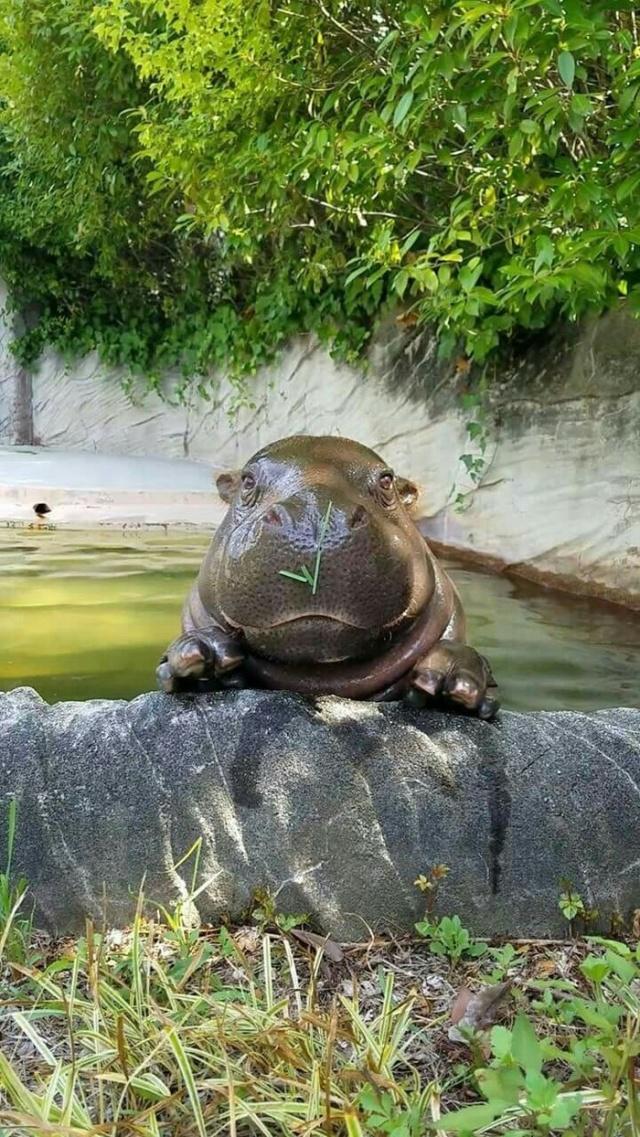 Very Cute Hippo (4 pics)